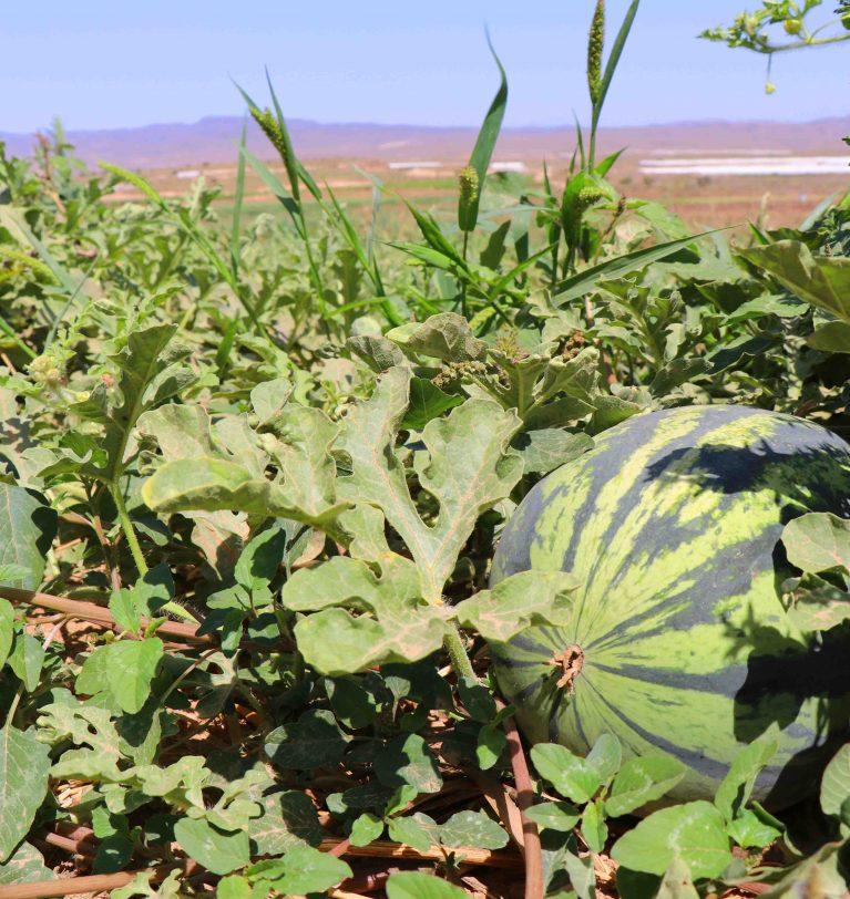 Die Sommerfrüchte sind bereit: Bio-Wassermelonen und Melonen gegen die Hitze