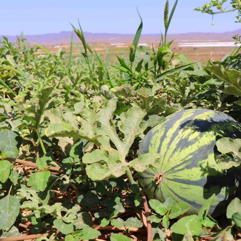 Las frutas de verano ya están a punto: sandías y melones bio para combatir el calor