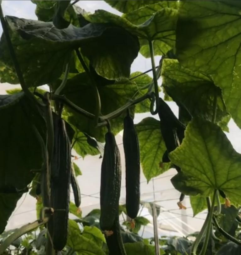 Con el verano llega la temporada de pepino: conoce todos los beneficios de esta verdura