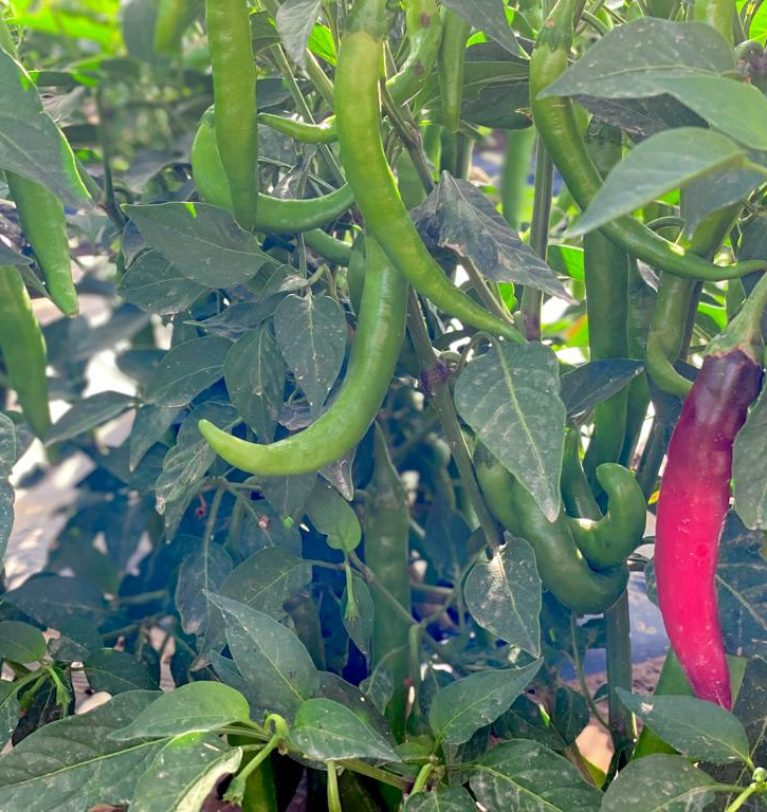The Organic Chili Pepper, the Latest Addition to our Catalog