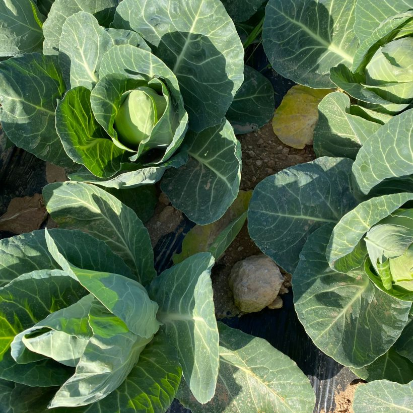 A treasure trove of vitamins and healthy qualities: the benefits of outdoor-grown pointed cabbage