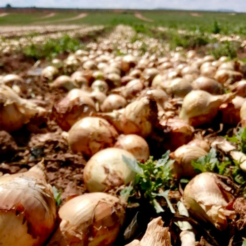 The natural air-drying of Naturcharc organic onions, a guarantee of sustainability, quality and health